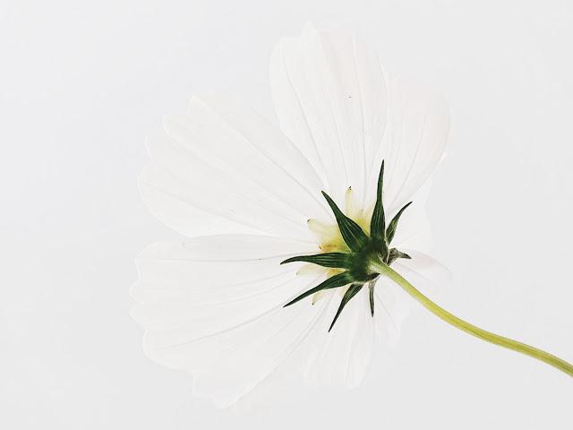 Auf der Mammilade n-Seite des Lebens   Personal Lifestyle Blog   Blume   Blüte   weiße Kosmea