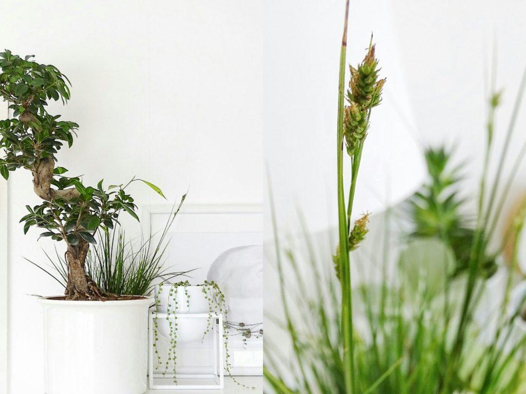 Auf der Mammilade|n-Seite des Lebens | Personal Lifestyle Blog | Wohnen mit Pflanzengrün, Holzakzenten und viel Weiß | Pflanzen | Wohnzimmer | Fikus | Erbsenpflanze