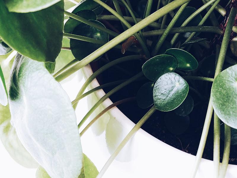 Auf der Mammilade|n-Seite des Lebens | Personal Lifestyle Blog | Pilea Peperomioides | Ufopflanze | Bauchnabelpflanze | Kanonierpflanze | Pflanzen Styling | Tipps Pflege und Vermehrung | Pflegetipps | Ableger | Setzlinge