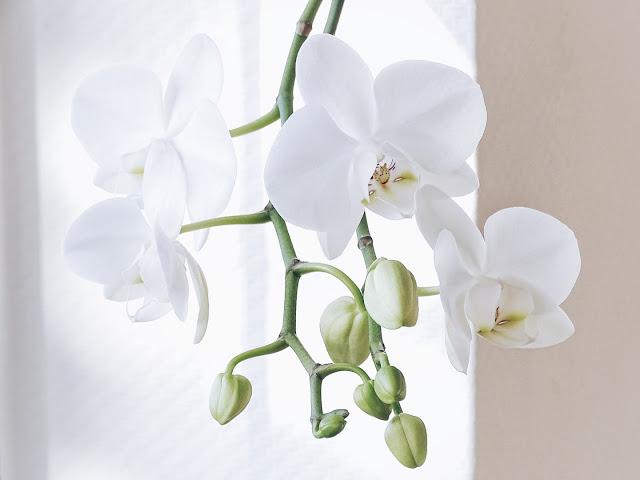 Auf der Mammiladen-Seite des Lebens | Personal Lifestyle Blog | Lieblinge und Inspirationen der Woche | Orchidee weiß Nahaufnahme