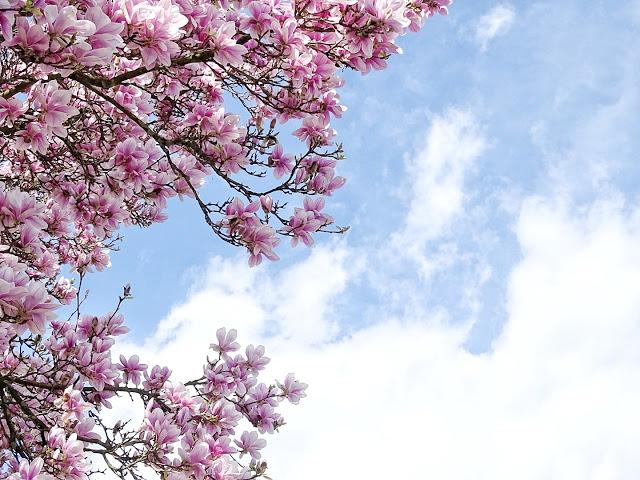 Magnolienblüte im Frühling | Auf der Mammilade|n-Seite des Lebens | Personal Lifestyle und Interior Blog