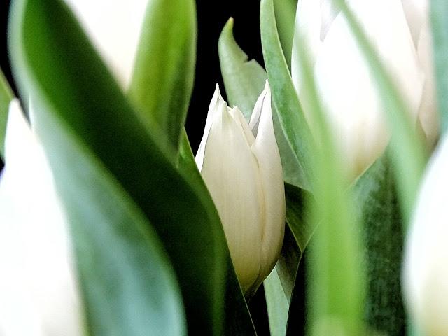 Weiße Tulpen | Über das Bloggen ohne Nische plus Monatsblick April und Mail | Personal Lifestyle, DIY and Interior Blog | Auf der Mammiladen-Seite des Lebens