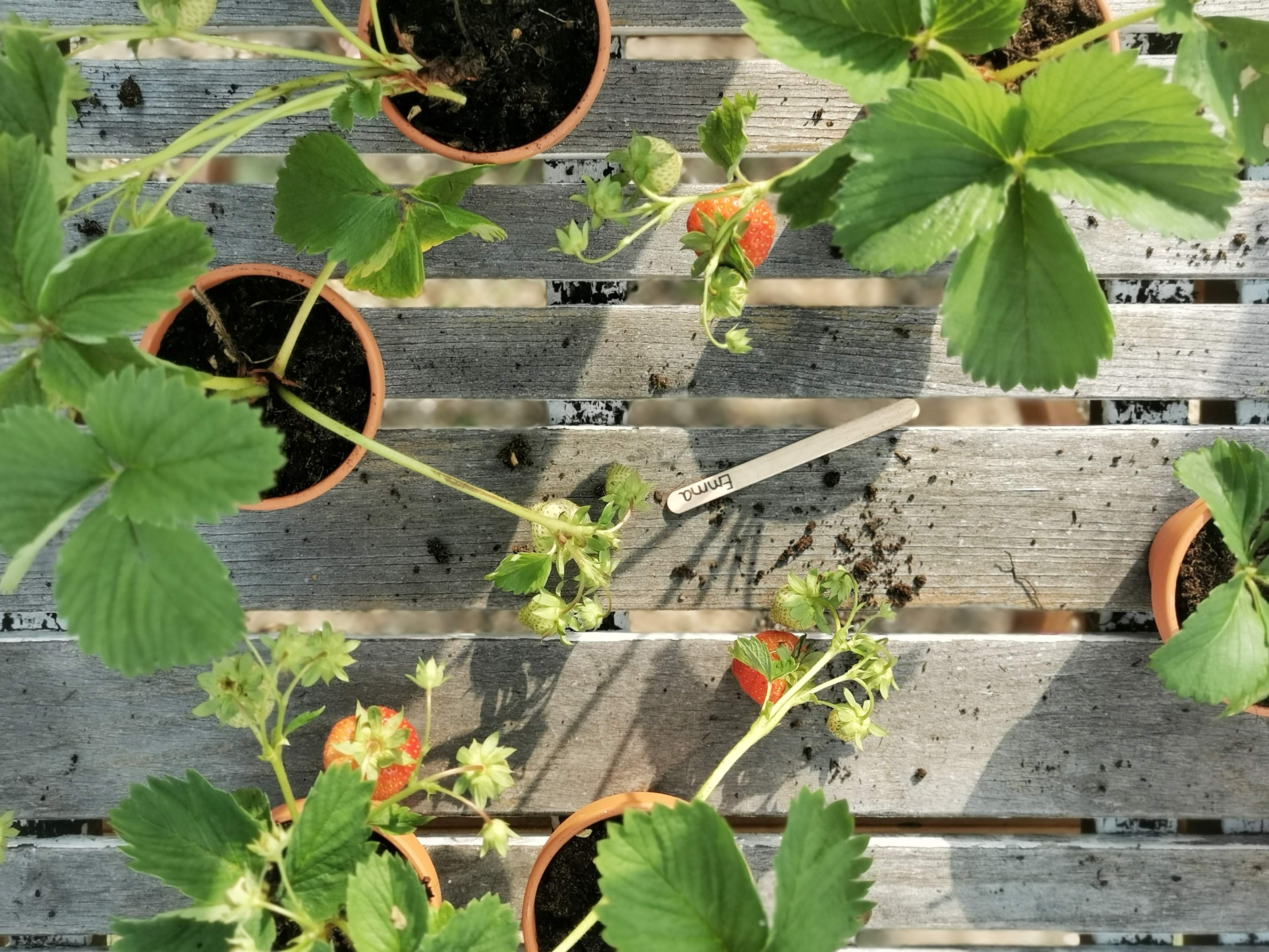 Nachhaltig schenken: Erdbeerpflanzen als Mitbringsel & Mitgebsel | mammilade.com